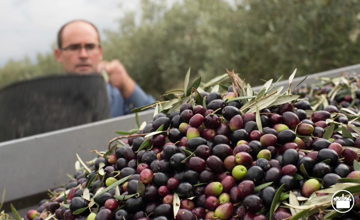Uno de los agricultores durante la recolección para la elaboración del aceite de oliva Hacendado en una de las almazaras en Jaén.