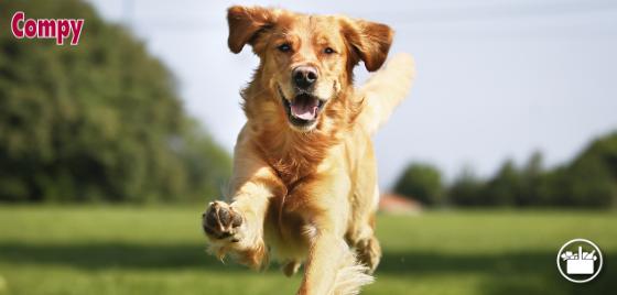 Prebióticos en el pienso Compy para perros