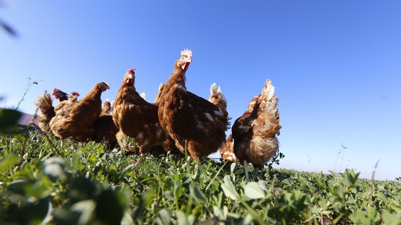 Gallinas ponedoras criadas en libertad (camperas) del interproveedor Huevos Guillén